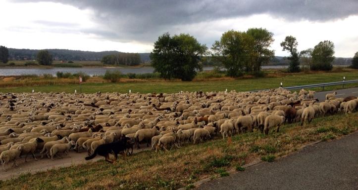 Schafherde mit Hund und Schäfer an der Elbe